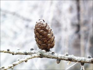 european larch cone