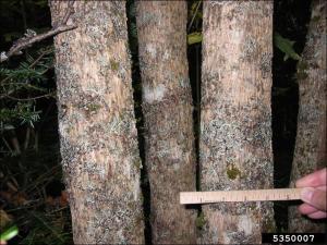 mountain maple trunks showing bark