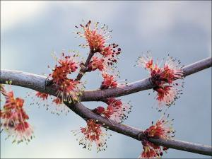 red red maple flowers