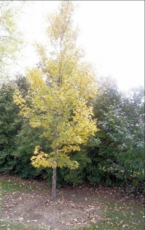 young red maple tree in the fall with yellow leaves