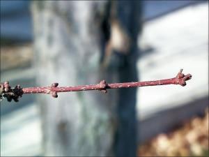 red maple twig