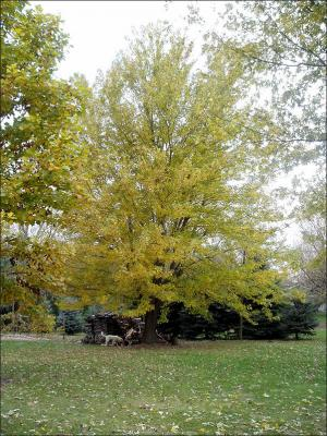 silver maple tree with yellow leaves