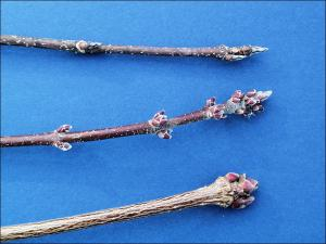 comparison of sugar maple, red maple, and norway maple, twigs