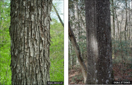 two variations of mockernut hickory bark, one shaggy, one not.