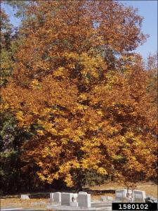 mockernut hickory tree in the fall with orange leaves