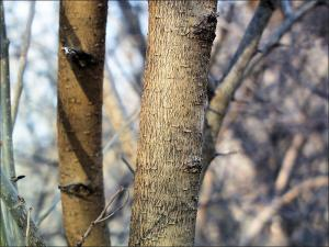 red mulberry trunk showing bark