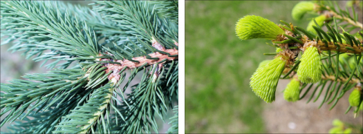 side by side view of norway spruce leaves - one mature and one young