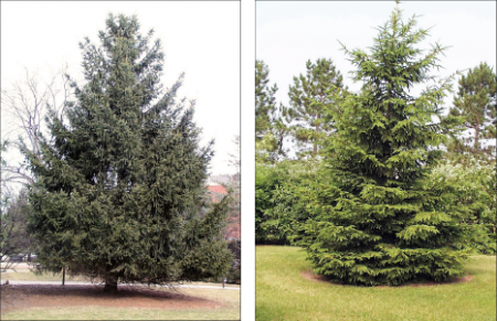 two different forms of norway spruce trees