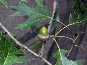 black oak acorn