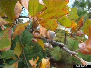 black jack oak fruit - acorns