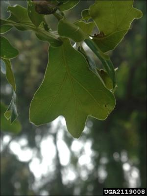 blackjack oak leaf