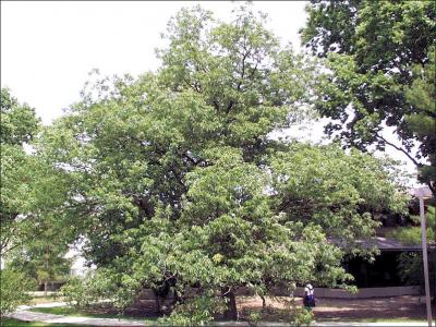 chinkapin oak tree