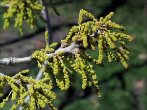 chinkapin oak flowers