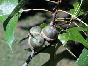 pin oak acorns