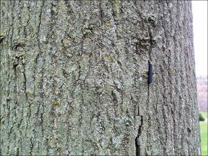 pin oak trunk showing bark