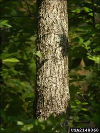 post oak trunk showing bark