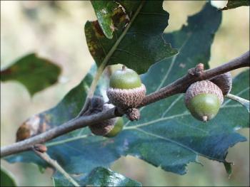 post oak acorns