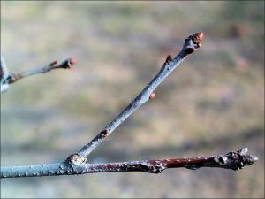 red oak twigs