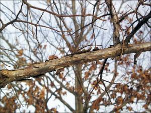 swamp white oak branch showing peeling paper-like bark