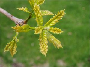 young swamp white oak leaves
