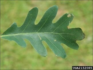 lobed white oak leaf