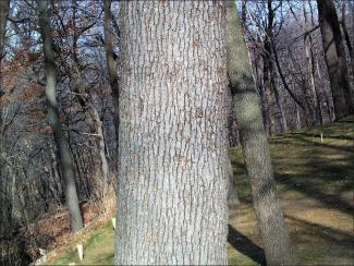 white oak trunk showing bark