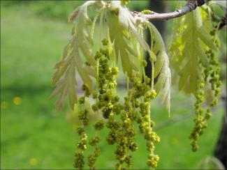 small, green, white oak flowers