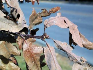 white oak twig with brown leaves