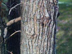 osage orange trunk showing bark