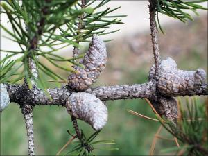 jack pine cones on a branch