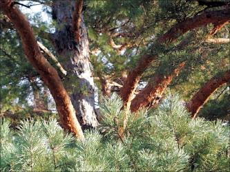 scotch pine trunk showing bark