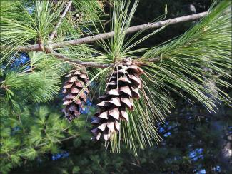 white pine cones on a branch