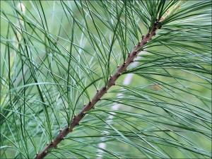 white pine twig with needles