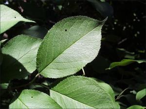 wild plum leaves