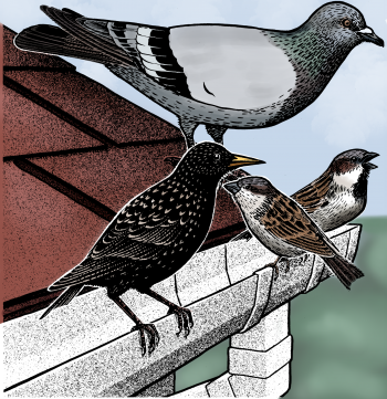pigeon, starling, and house sparrows on roof