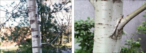 two varieties of quaking aspen bark