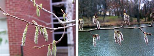quaking aspen flowers