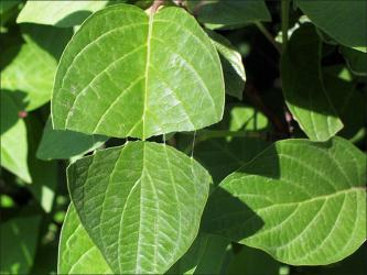 red-osier dogwood leaf split to show false-veins that tend to remain intact, parallel, and attached to both leaf halves