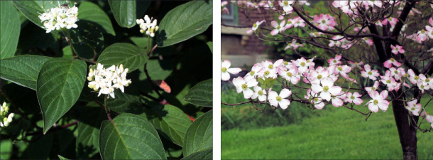 red-osier dogwood flower variations - one white and one white with pink fringes