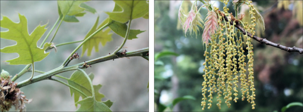 young and mature red oak flowers