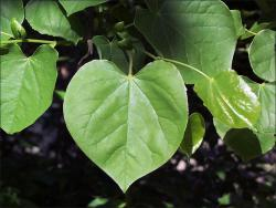 eastern redbud leaves