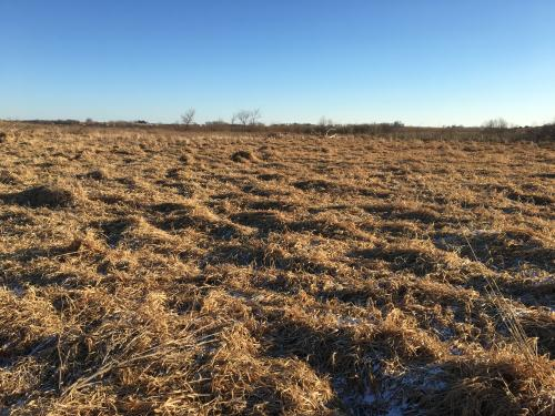 reed canary grass infestation