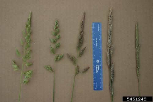 reed canary grass branching flower clusters showing young green flowers to purple flowers and yellowish brown mature clusters with seeds