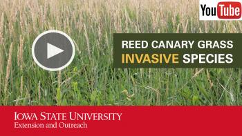 reed canary grass thumbnail with photo of plants and link to youtube video
