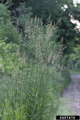 reed canary grass beside a trail
