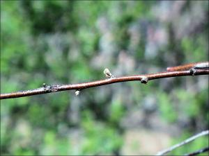 russian olive twig