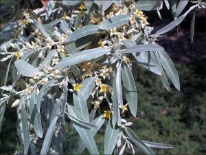 silvery-gray leaves and small yellow flowers of the russian olive