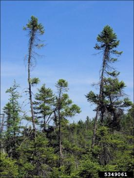 black spruce trees