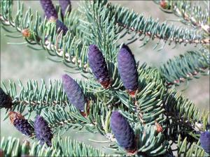 purple, white spruce cone shaped flowers