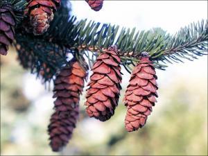 white spruce cones